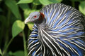 Vulturine guineafowl Royalty Free Stock Image