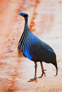 The Vulturine Guineafowl. Safari in Tsavo West, Kenya, Africa Stock Image