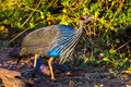 Vulvurine Guineafowl Royalty Free Stock Photo