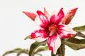 Wüste rose red und weiß Stockfotografie