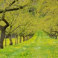 Wachau apricot trees in spring Royalty Free Stock Photo