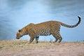 Wachsamer leopard Stockfoto