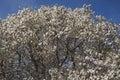 Wada s memory magnolia x kewensis Stock Photos
