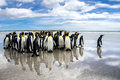 A waddle of king penguins on the beach at volunteer point falklands with one old penguin leading way reflection wet sand Royalty Free Stock Images