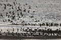 Wader mixed flock kent march Stock Image