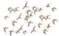 Waders bird a flock of flying isolated on white background Stock Photos