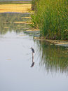 Wading bird in a swamp Stock Photos