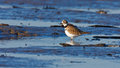 Wading killdeer a single in a small tidal pool with ripples Stock Photos