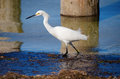 Wading snowy white egret Stock Images