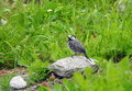 Wagtail bird, Lithuania