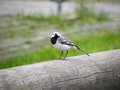 Wagtail a bird poses on wood Royalty Free Stock Photo