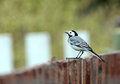 Wagtail on the fence little bird Royalty Free Stock Photo