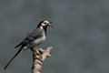 Wagtail with insects in its beak Royalty Free Stock Photos