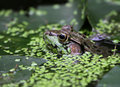 Waiting Bullfrog Royalty Free Stock Photo