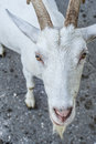 Waiting goat want something from you in summer time walking outside and to get Royalty Free Stock Images