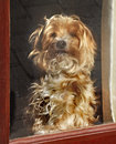 Waiting patiently chloe is a cross between a shih tzu and a yorkshire terrier and is looking through the window for her master Stock Images