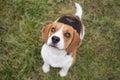 Waiting for reward beagle dog Stock Image