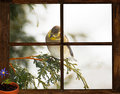 Waiting for spring gold finch in a snowstorm peeks into a tiny farm house bedroom window at a little purple flower in a clay pot Royalty Free Stock Photos
