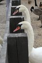 Waiting Swans Royalty Free Stock Photo