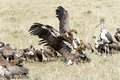 A wake and fighting vultures Stock Photography