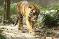 Waking tiger walking in a forest Royalty Free Stock Photo