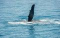 Wal finn hervey bay australia Royalty Free Stock Image