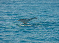 Wal tail hervey bay australia Royalty Free Stock Image