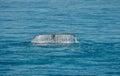 Wal tail hervey bay australia Stock Images