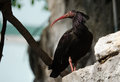 Waldrapp ibis a black stands on rocks in an aviary Stock Photography