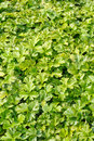 Waldsteinia ternata decorative groundcover plant in the garden Royalty Free Stock Photo