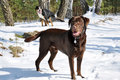 Walk the dog labrador retriever and his friend at in winter forest Royalty Free Stock Image