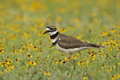 A walk in the flowers killdeer walking through lush springtime Royalty Free Stock Photos