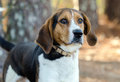 Walker Coonhound Dog Royalty Free Stock Photo