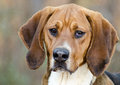 Walker Hound mixed breed dog