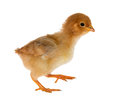 Walkin small yellow chicken isolated on white background Stock Photo