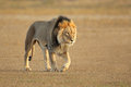 Walking African lion Royalty Free Stock Images