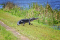 Walking Alligator Stock Photo