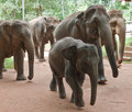 Walking baby elephant in a group Royalty Free Stock Images