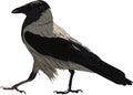 Walking Black Crow