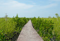 Walking bridge mangrove reforestation Stock Image
