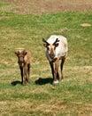 Walking Caribou Royalty Free Stock Photo