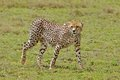 Walking Cheetah Royalty Free Stock Photos