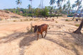 Walking cows, India, Goa, palm trees and highlands Royalty Free Stock Photo