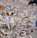 Walking the dog being walked on a windy autumn day Royalty Free Stock Images