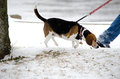 Walking a dog in winter beagle looks interested to be out the cold snow but his owner appears to be hurry to get back indoors Royalty Free Stock Photos