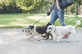 Walking with dogs in park Royalty Free Stock Photo