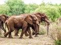 Walking elephants Stock Images