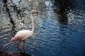 Walking flamingo Royalty Free Stock Photo