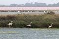 Walking flamingos, Le Grau-du-Roi, Camargue, France Royalty Free Stock Photo
