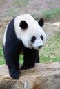 Walking giant panda